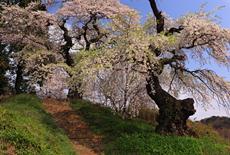 小倉寺観音の桜