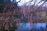 芳水の桜 池霧