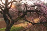 芳水の桜 朝陽