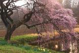 芳水の桜 朝靄