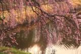 芳水の桜 波紋