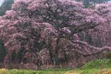 芳水の桜 全景