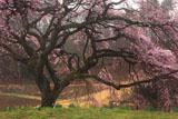 芳水の桜 自然のままの立ち姿