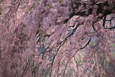 山ノ在家の桜