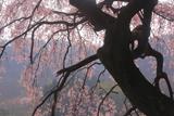 山ノ在家のしだれ桜