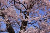 茶屋のエドヒガン桜