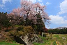 赤岩種蒔桜