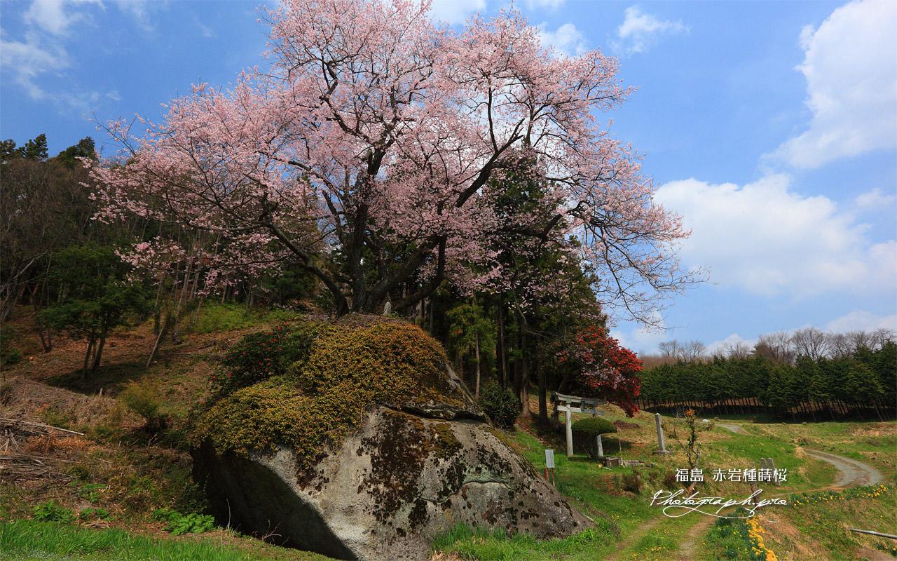 赤岩種蒔桜 壁紙