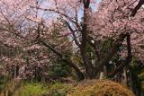赤岩種まき桜