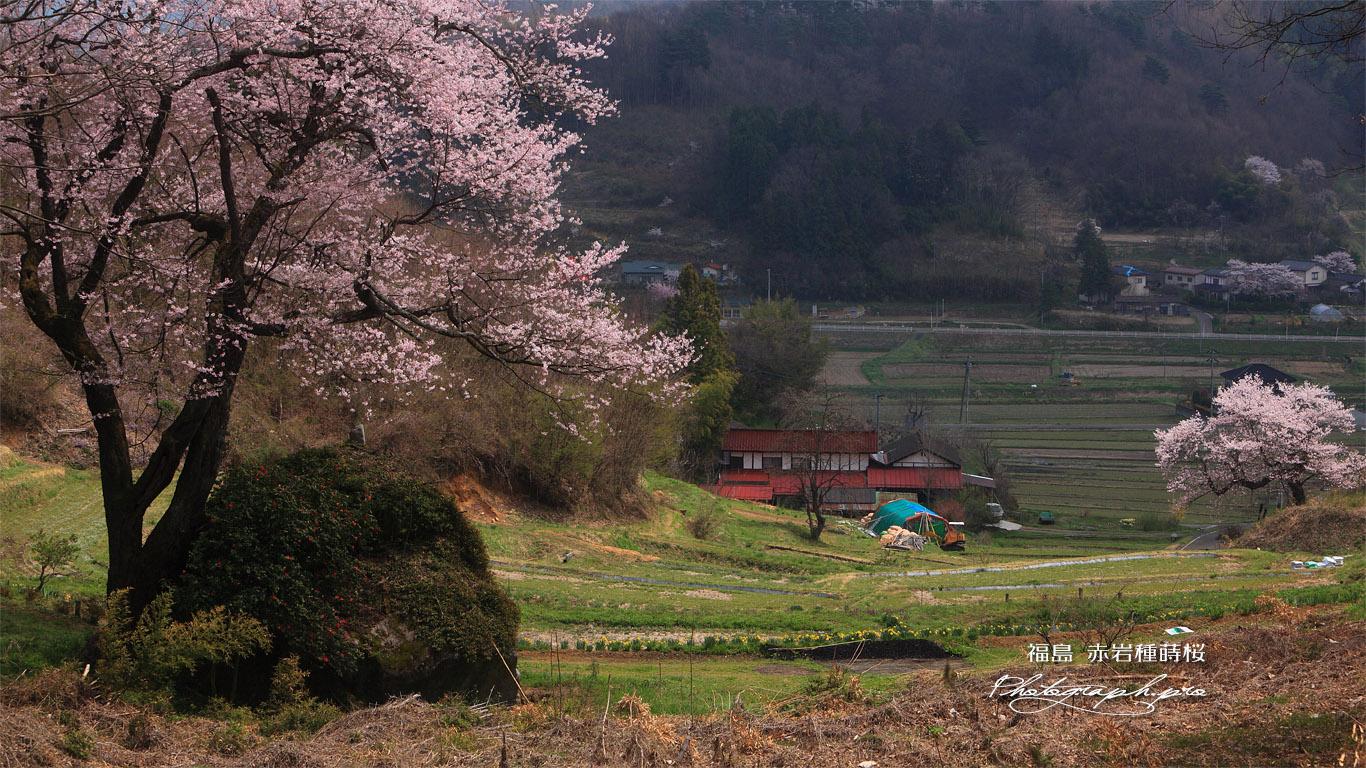 赤岩種蒔桜と祐吉桜 壁紙
