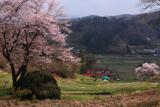 赤岩種蒔桜と祐吉桜