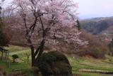 赤岩の種蒔桜