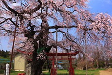 西郷の夫婦桜