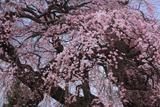 狐水稲荷神社のシダレザクラ