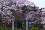 永禄寺の桜 桜坂のサクラたち