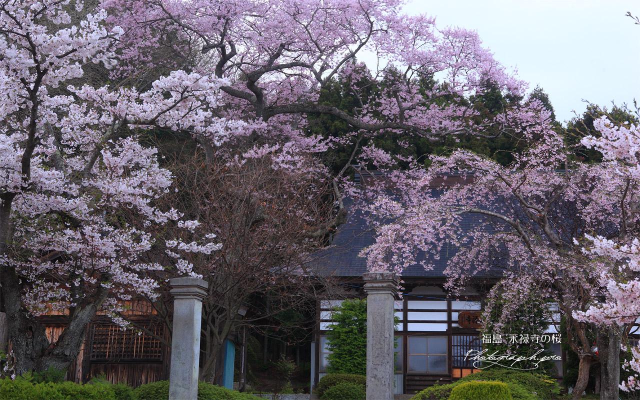 永禄寺の桜 桜坂のサクラたち 壁紙  永禄寺の桜 桜坂のサクラたちの壁紙はWXGAディスプレ