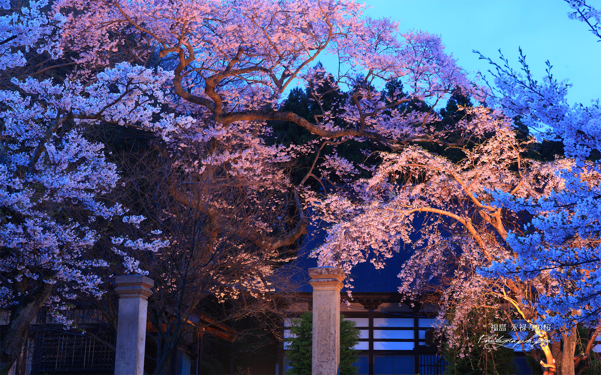永禄寺の桜 ライトアップ