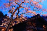 永禄寺の桜 江戸彼岸桜