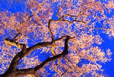 永禄寺の桜