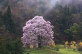 小長石の駒桜