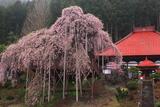 慈徳寺の種蒔き桜