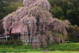 横田陣屋御殿桜 陣屋跡