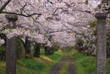 護真寺のサクラ 参道の桜並木