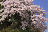 鈴の石の桜