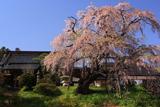 建福寺の枝垂れ桜