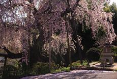 建福寺のしだれ桜