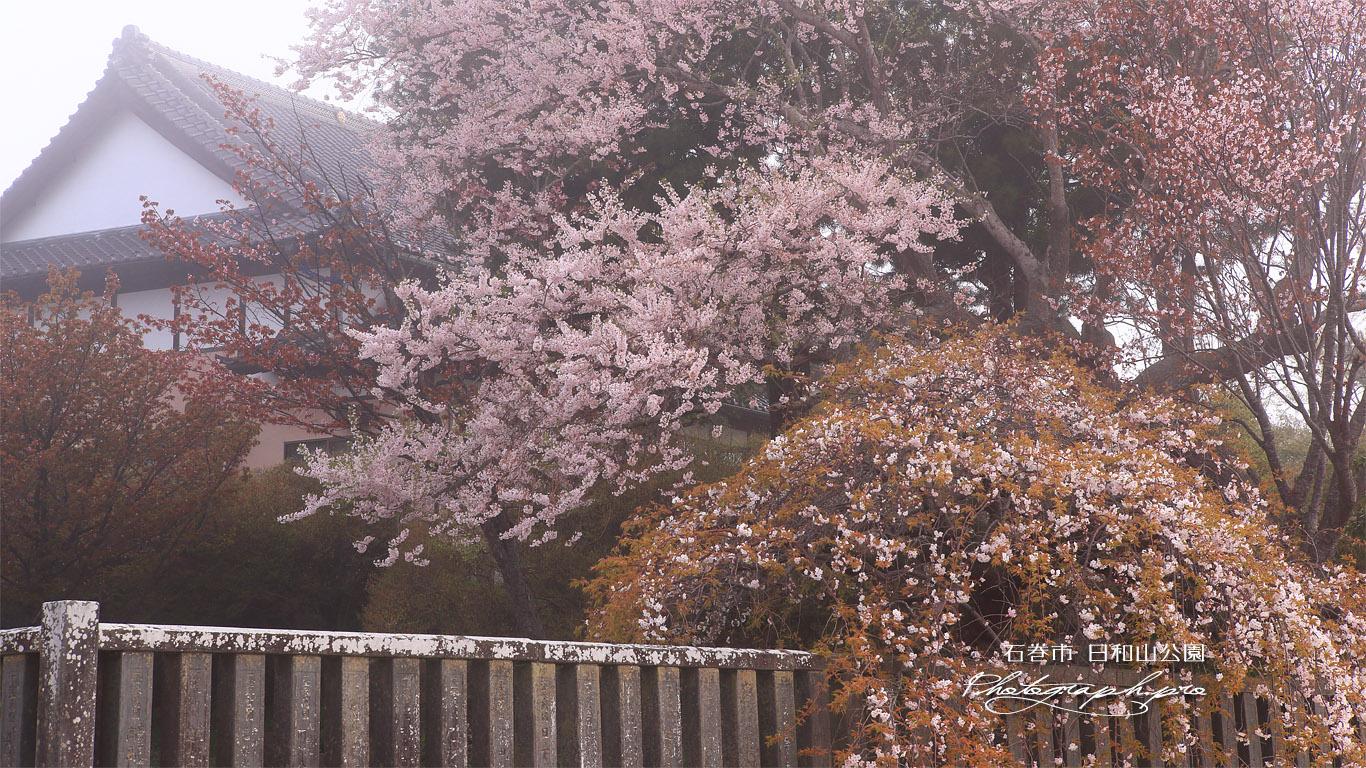 日和山公園の桜 壁紙