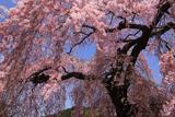 春日のベニシダレ