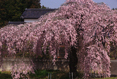 春日のサクラ
