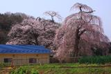 藤田公会堂の夫婦桜