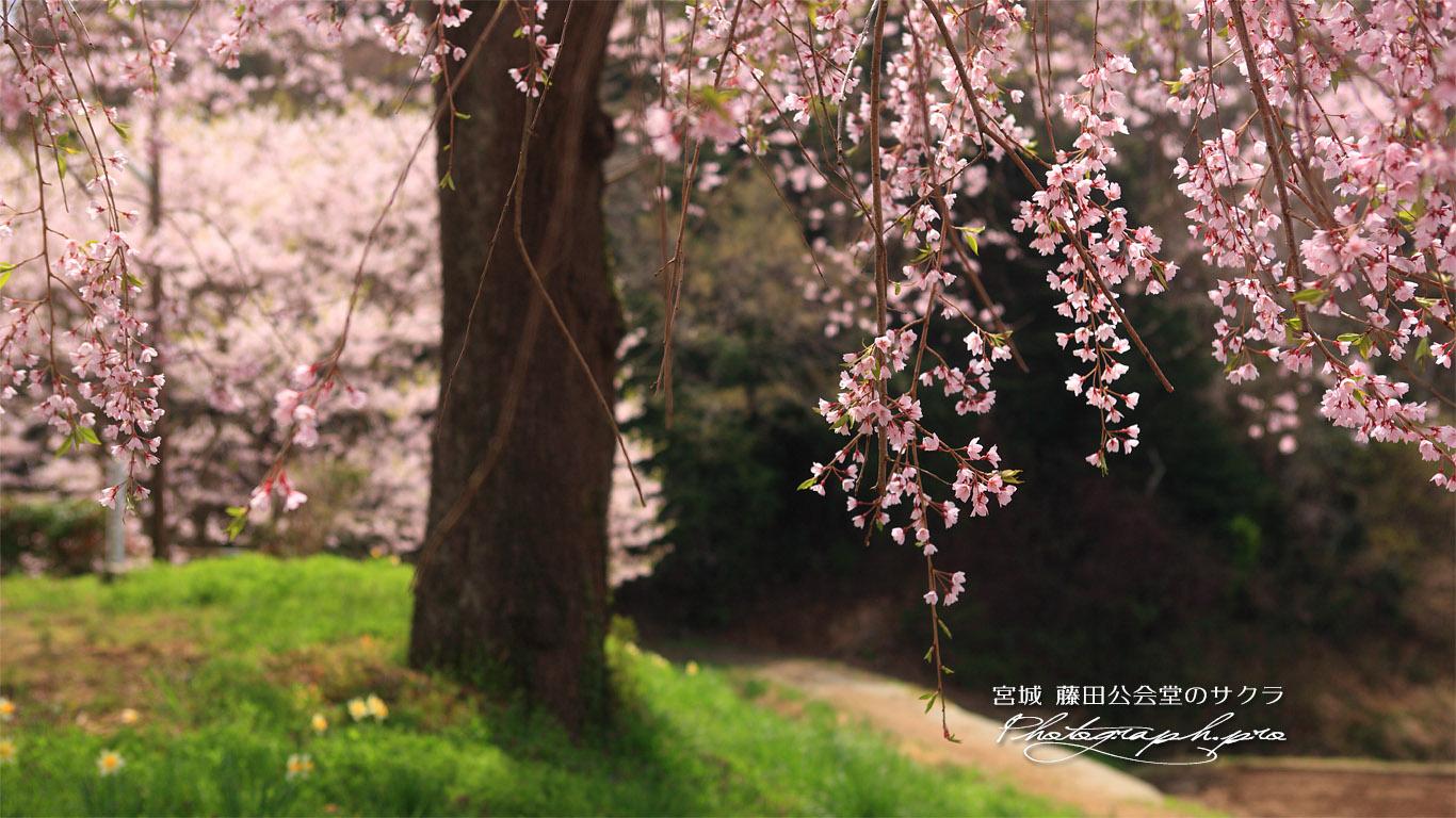 藤田の夫婦桜 壁紙