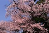 楊岐寺の江戸彼岸桜