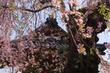楊岐寺の種蒔き桜