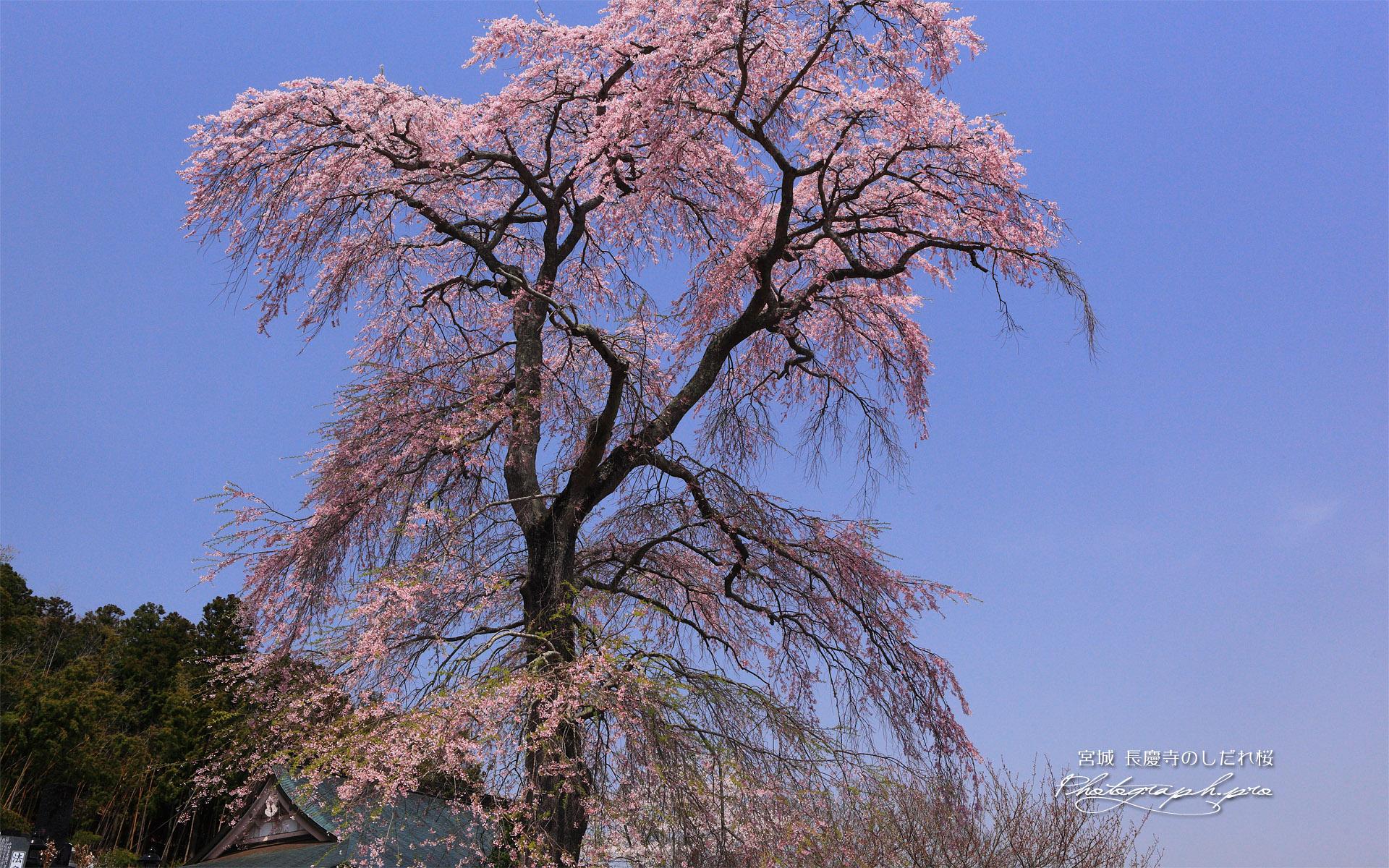 長慶寺のシダレザクラ