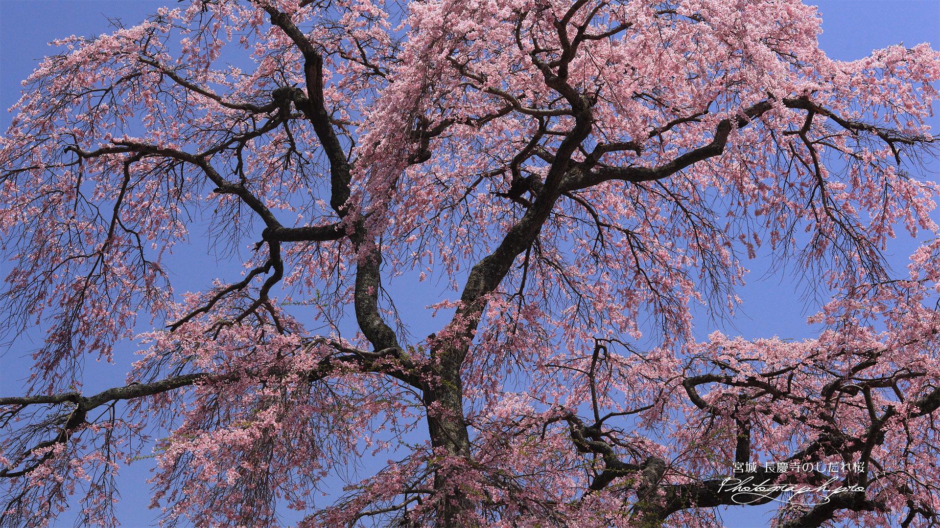 長慶寺のしだれ桜