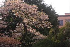 仙台高等裁判所のヒガンザクラ