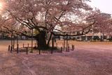 東六番丁小学校の桜
