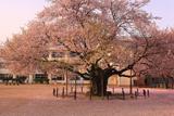 東六番丁小学校の江戸彼岸桜