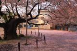 東六番丁小学校のエドヒガン桜