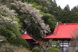長遠寺のシダレザクラ