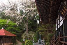 長遠寺のしだれ桜