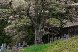 二段田の彼岸桜