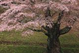 新田の山桜