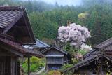 文添の霞桜