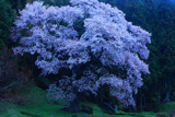 文添の山桜