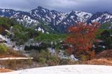 葉桜の樽口峠の大山桜